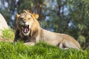20091107 lion yawning safari park sd