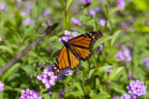 monarch butterfly slo 20101114